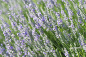 herbal lavender