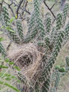 Nest in Cholla