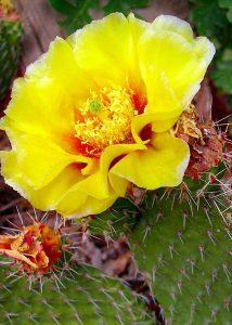 Blooming cactus, Arizona