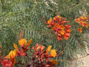 Red Bird of Paradise; Caesalpinia pulcherrima from SCNM Herb Garden