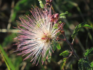 Fairy Duster Flower