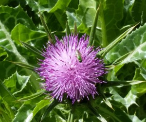 Milk Thistle in SCNM garden