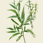 White Willow Bark is commonly used for headache and other types of pain