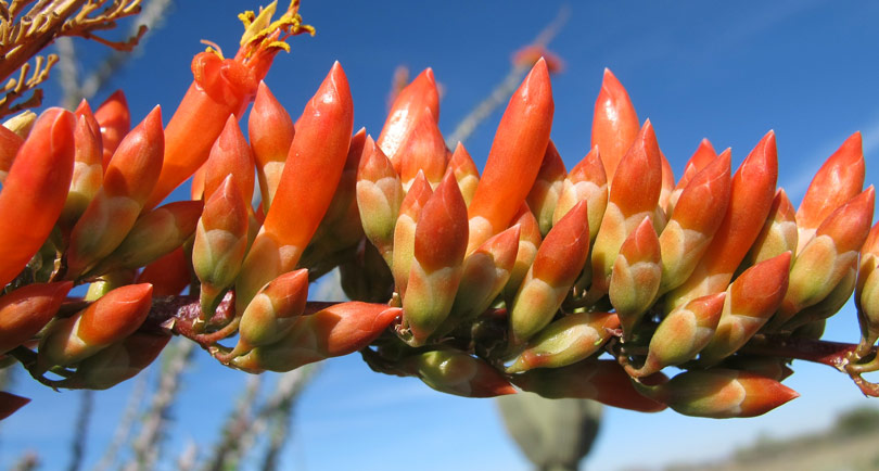 desert blooming ocotillo