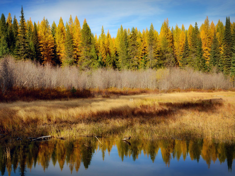 Western Larch in Canada